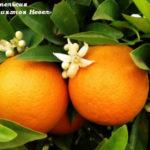 """Апельсин «Вашингтон Невел» / """"Washington navel"""""""