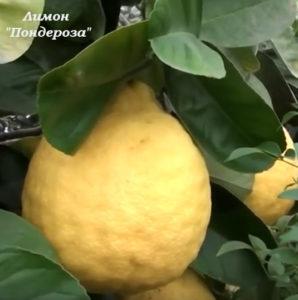 лимон, лимон пондероза, комнатный лимон, уход за лимоном, купить лимон