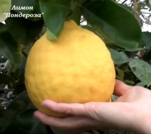 лимон Пондероза