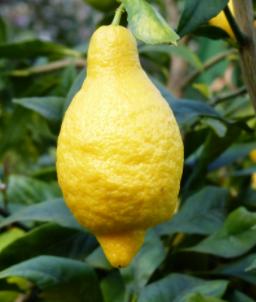 лимон саличифолиа, salicifolia