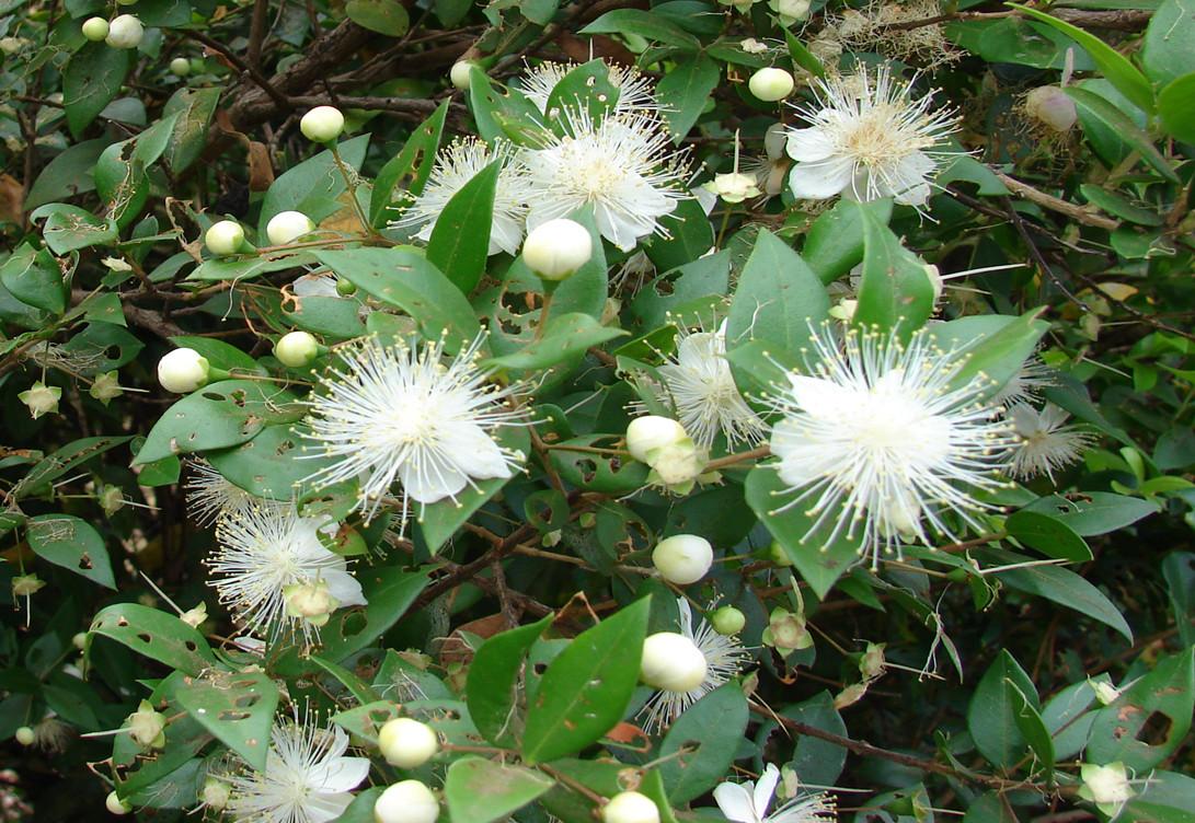 Зимовка Мирта (Myrtus).