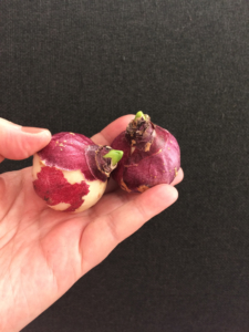 посадка луковичных цветов поздно