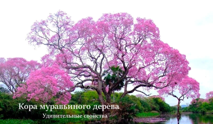 Удивительные полезные свойства коры муравьиного дерева, Pau D`Arco