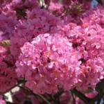 Муравьиное дерево (Пау Д'Арко, тахибо, розовое лапачо, табебуя