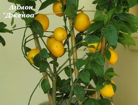 лимон Дженоа