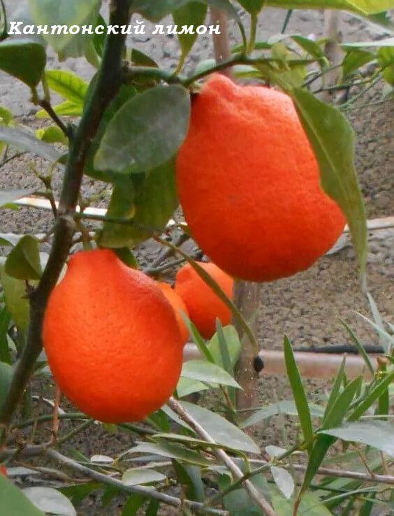 кантонский лимон, плоды- лампочка