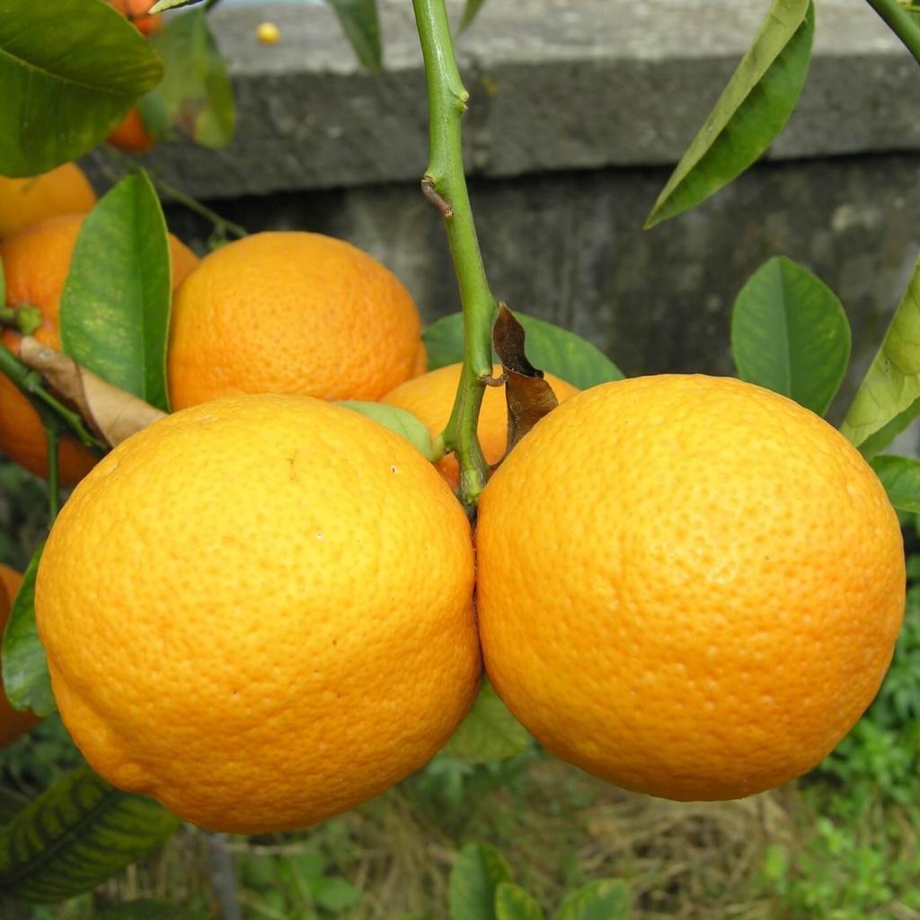 Волкамериана лимон купить