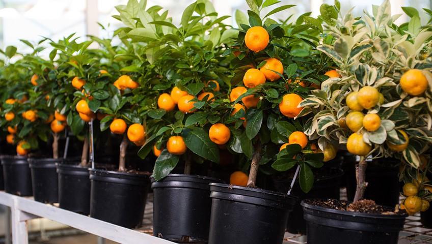 Доставка и упаковка взрослых цитрусовых растений