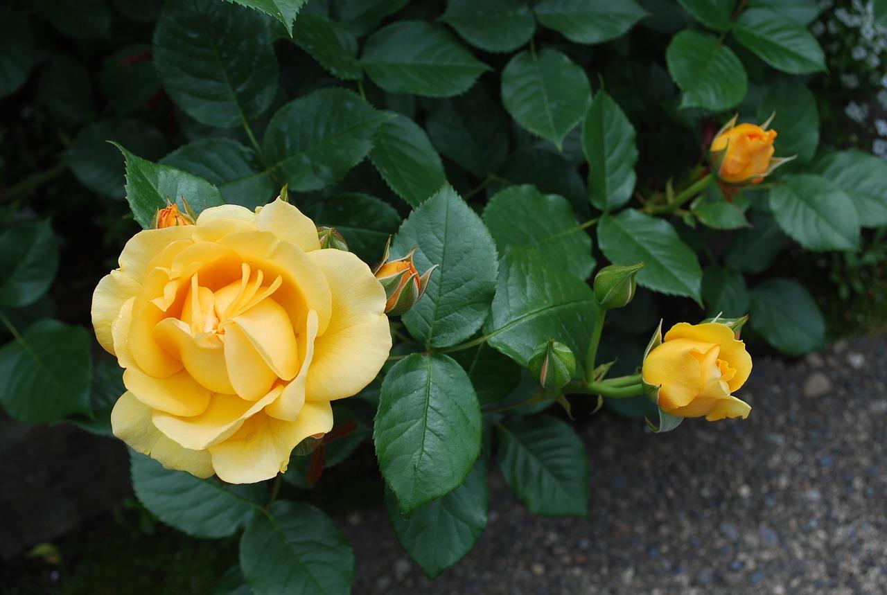 Комнатная роза. Как сохранить Розу, купленную в магазине. Марианаблог