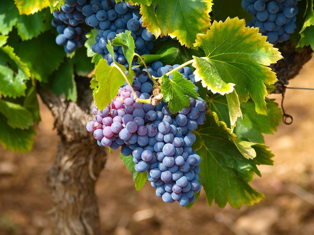 Сухое (чистое) виноградное вино. Молдавский рецепт