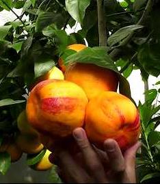 радужный лимон