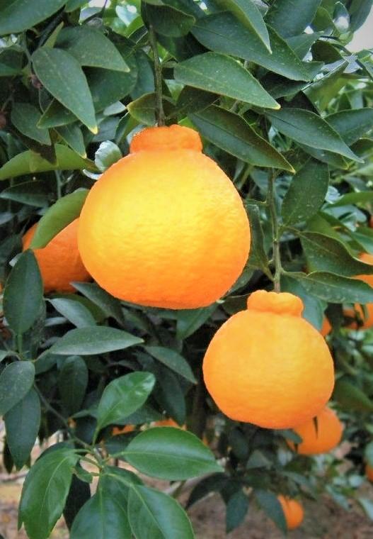 Декопон мандарин