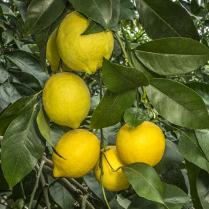 """Лимон Сангвинеум (C.limon """"Sanguineum"""")"""