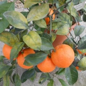 Мандарин Уншиу, группы Сатсума (Citrus unshiu, Citrus reticulata)