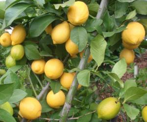 "Лимон ""Рос Эврика"" (Eureka Lemon)"