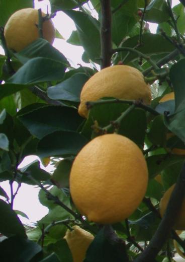 лимон Эврика