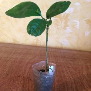Лимон Сангвинеум (C.limon