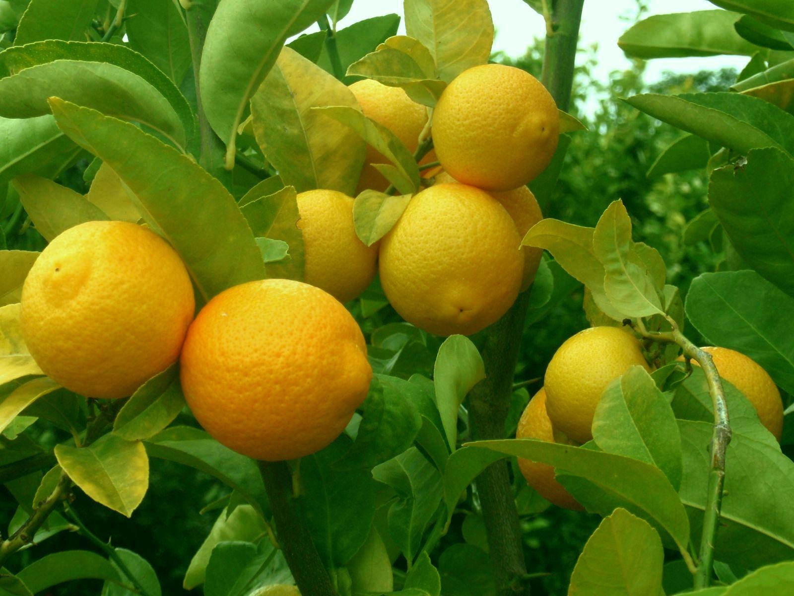 волкамер лимон волкамериана