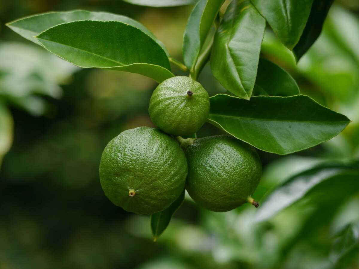 Бергамот (кислый апельсин) (Citrus Bergamia)