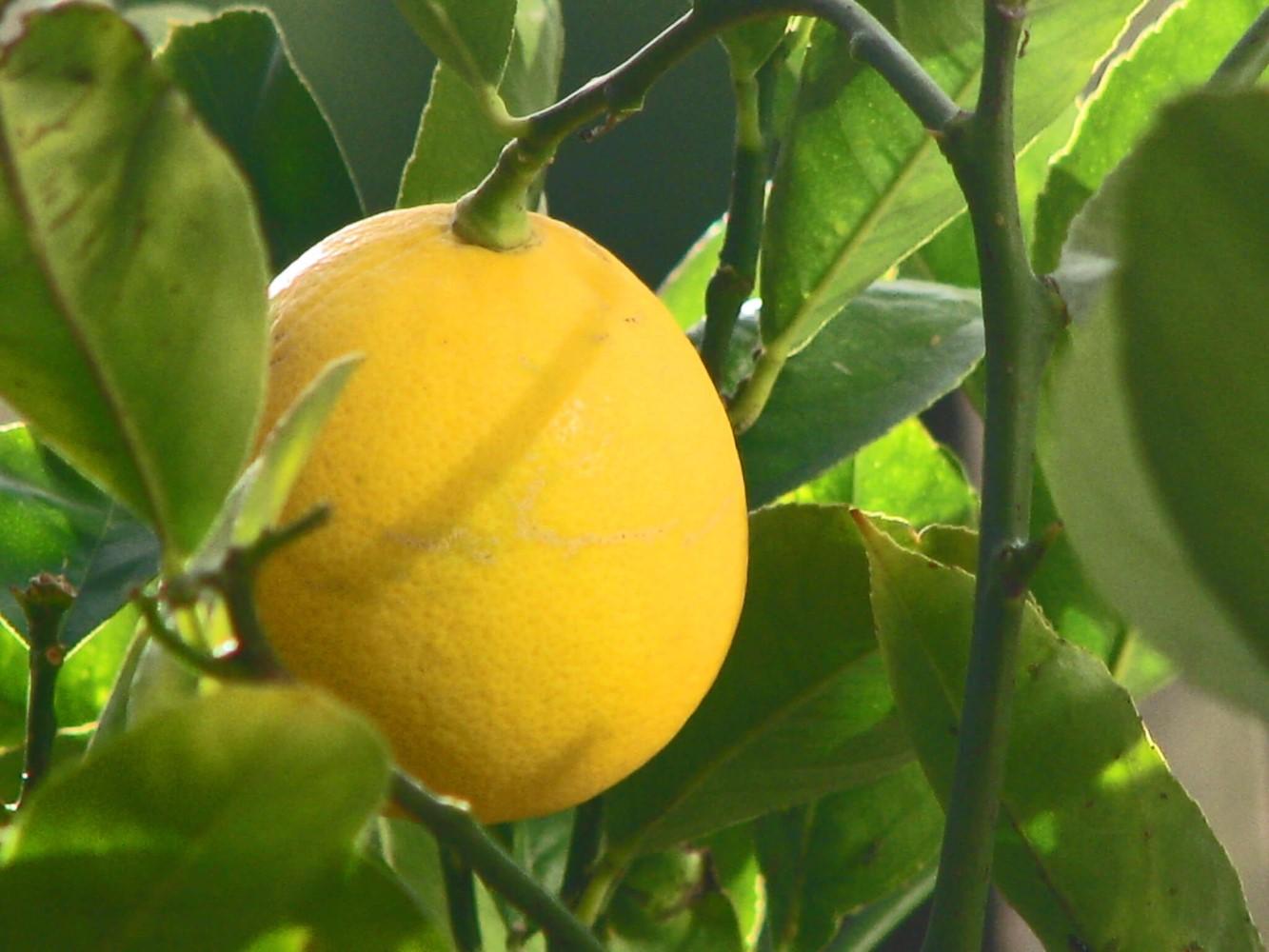 Лимон «Мейера» (Cítrus × Méyeri)