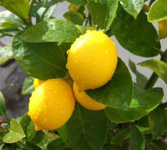 лимон Мейера купить