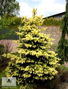 Picea_pungens_Maigold